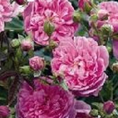 Rose Harlow Carr (engelsk rose) , barrotad