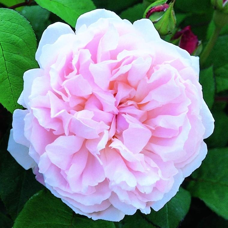 Rose Redouté (engelsk rose) , barrotad