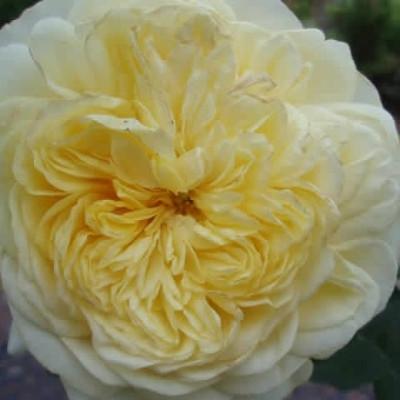 Rose The Pilgrim (engelsk rose, barrodet)