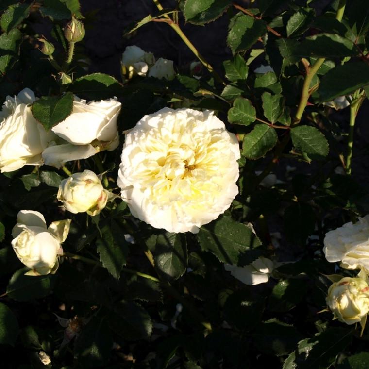 Rose The Pilgrim (engelsk rose (kan anvendes som slyngrose), barrotad