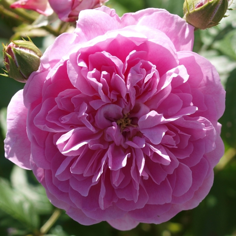 Rose Hyde Hall (engelsk rose) , barrodet