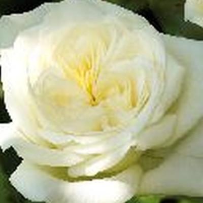 Rose 'Claus Dalby' (storblomstrende) barrodet