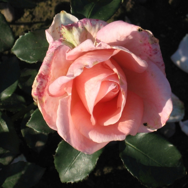 Rose Summer Lady (storblomstrende)  , barrotad