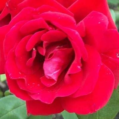 Rose Hanne (storblomstrende)  , barrodet