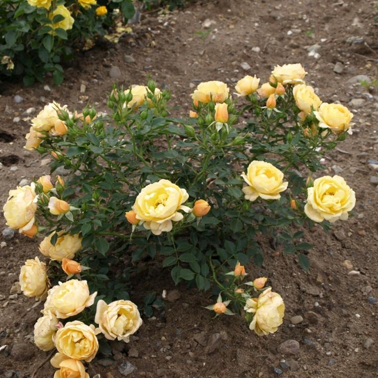Rose 'Amber Cover' (bunddækkerose) barrotad