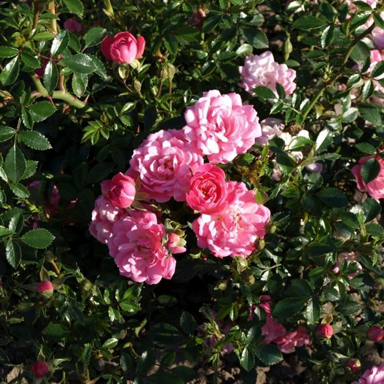 Rose 'Easy Cover' (bunddækkerose) barrotad
