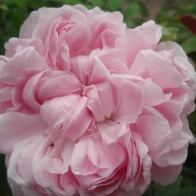 Rose Jacques Cartier (portland)  , barrotad
