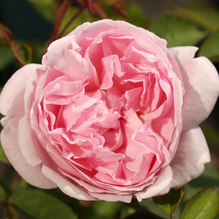 Rose Cottage Rose (engelsk rose) , barrodet