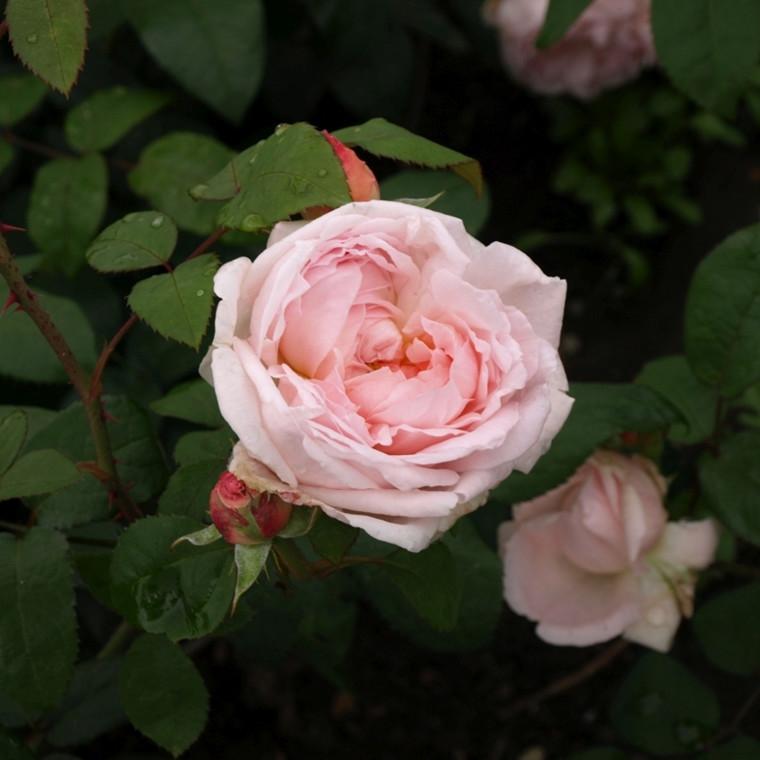 Rose Cottage Rose (engelsk rose) , barrotad