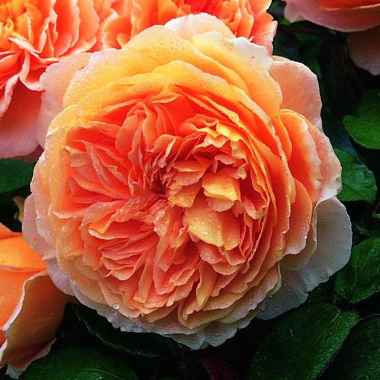 Rose 'Crown Princess Margaretha' (engelsk rose) barrodet