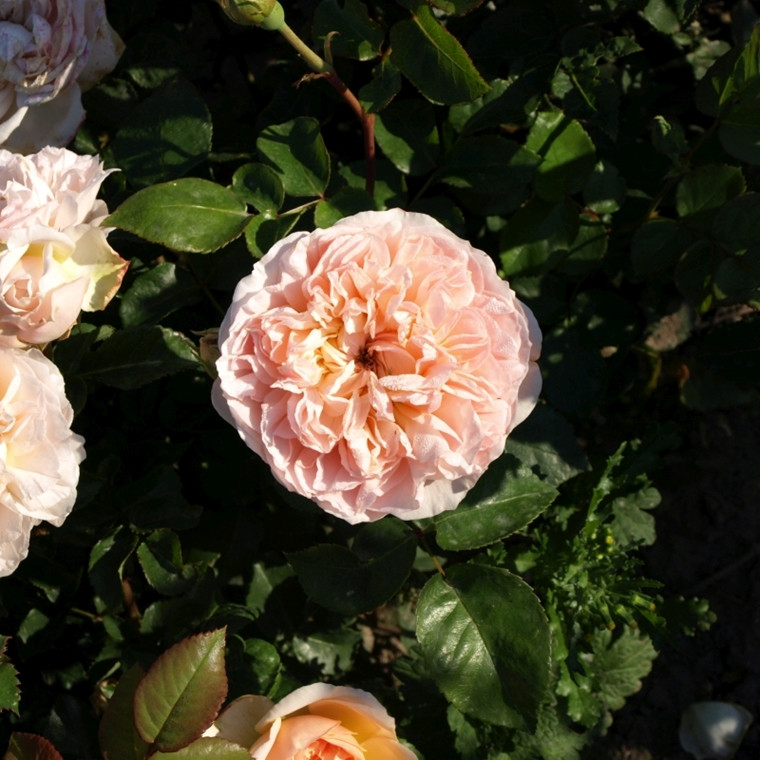 Rose 'Evelyn' (engelsk rose) barrodet