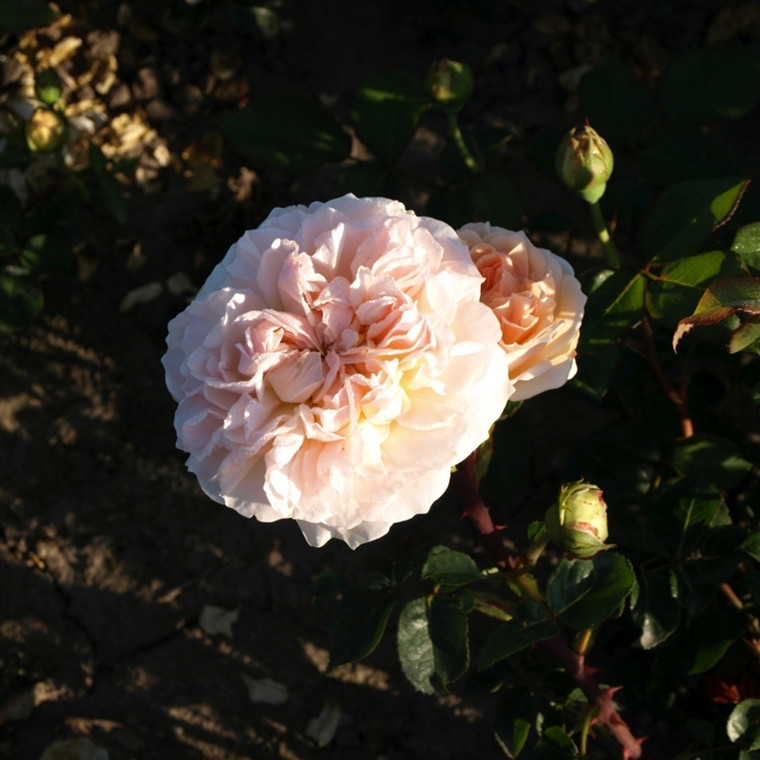Rose 'Evelyn' (engelsk rose) barrotad