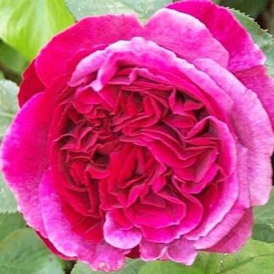 Rose 'Falstaff' (Engelsk rose) barrodet