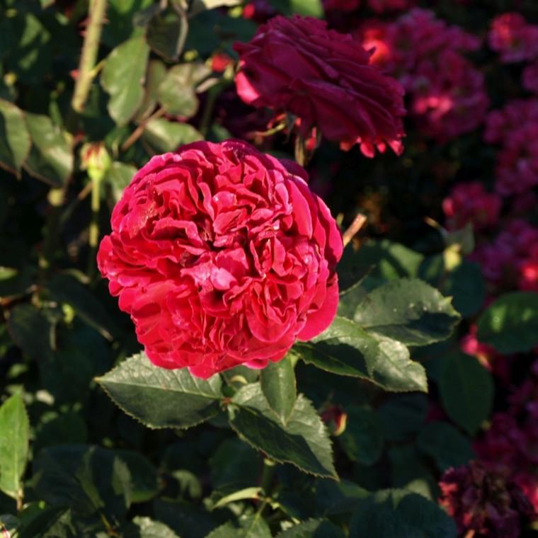 Rose 'Falstaff '(engelsk rose (kan anvendes som slyngrose) barrotad
