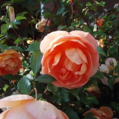 Rose Pat Austin (engelsk rose) , barrodet