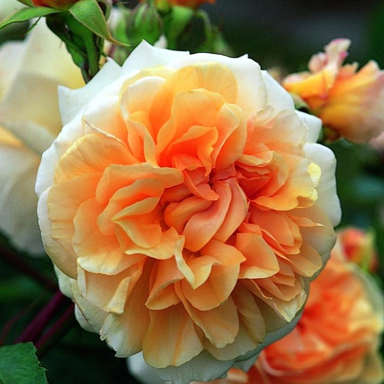 Rose Pegasus (engelsk rose) , barrodet