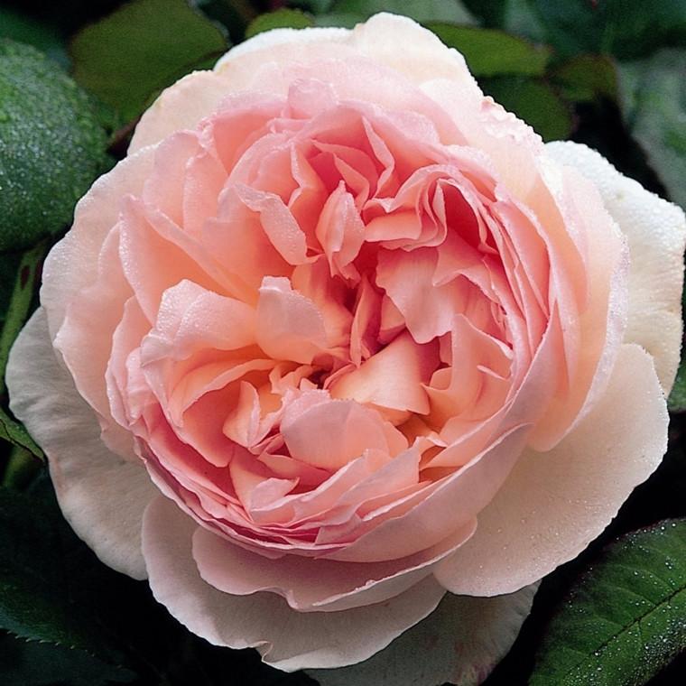 Rose Sharifa Asma (engelsk rose) , barrotad