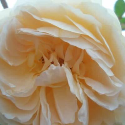 Rose Teasing Georgia (engelsk rose (kan anvendes som slyngrose , barrodet