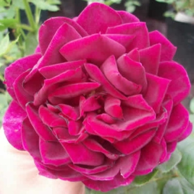 Rose The Prince (engelsk rose) , barrotad
