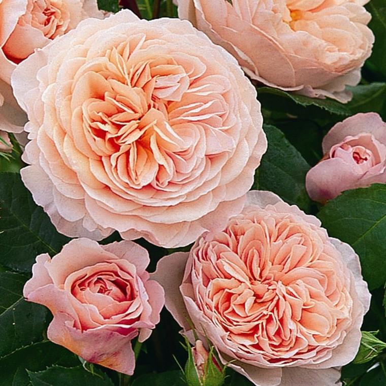 Rose William Morris (engelsk rose, barrodet) 100-125 cm