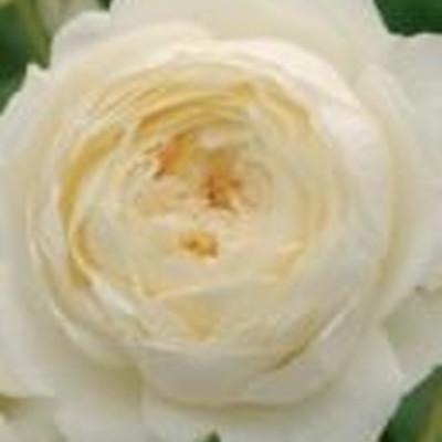 Rose 'Claire Austin' (engelsk rose) barrotad
