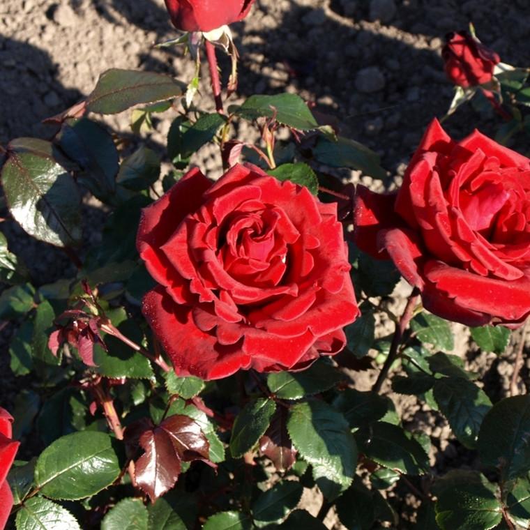 Rose Miss Schweiz (buketrose)  , barrotad