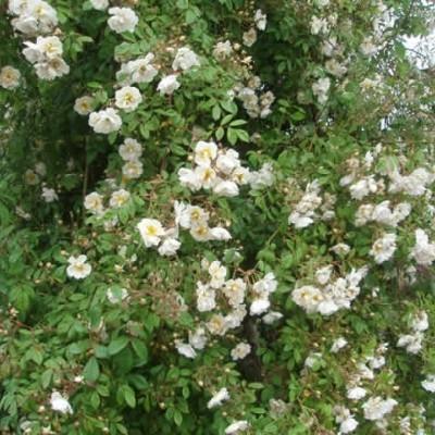 Rose Lykkefund (historisk slyngrose)  , barrotad