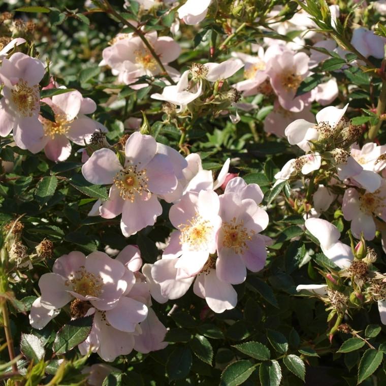 Rose 'Butterflies Cover' (bunddækkerose) barrodet