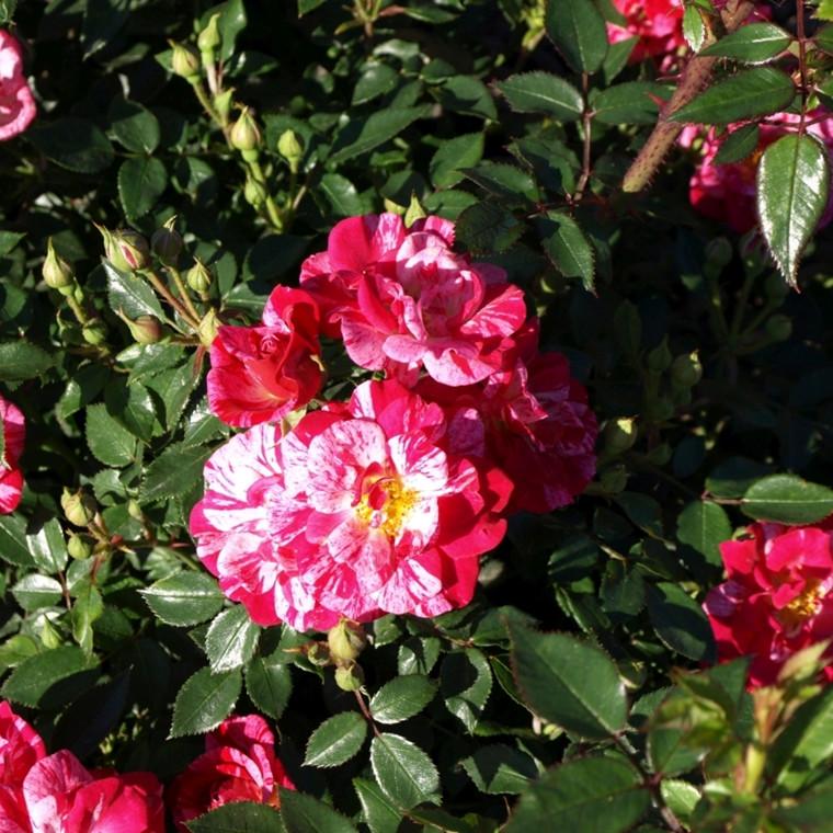 Rose 'Candy Cover' (bunddækkerose) barrotad