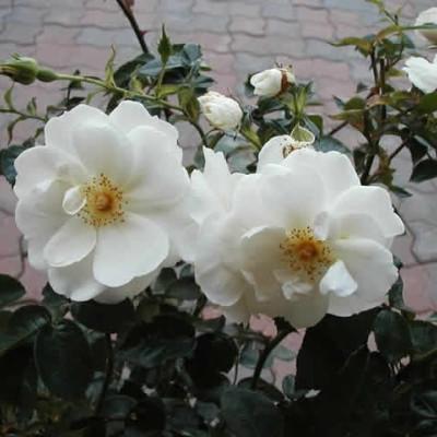 Rose 'Diamond Border' (bunddækkerose) barrotad