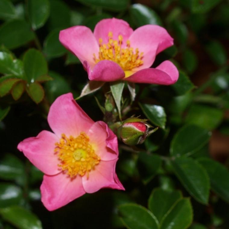 Rose Pink Cover (bunddækkerose) , barrotad