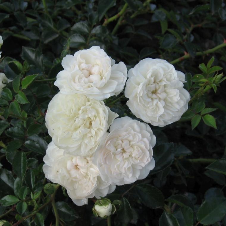 Rose Swany (bunddækkerose) , barrotad