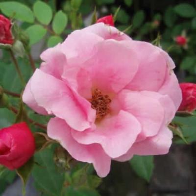 Rose Sweet Cover (bunddækkerose) , barrodet