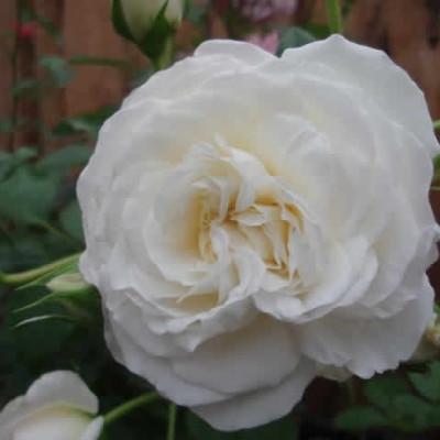 Rose Ledreborg (buketrose) , barrotad