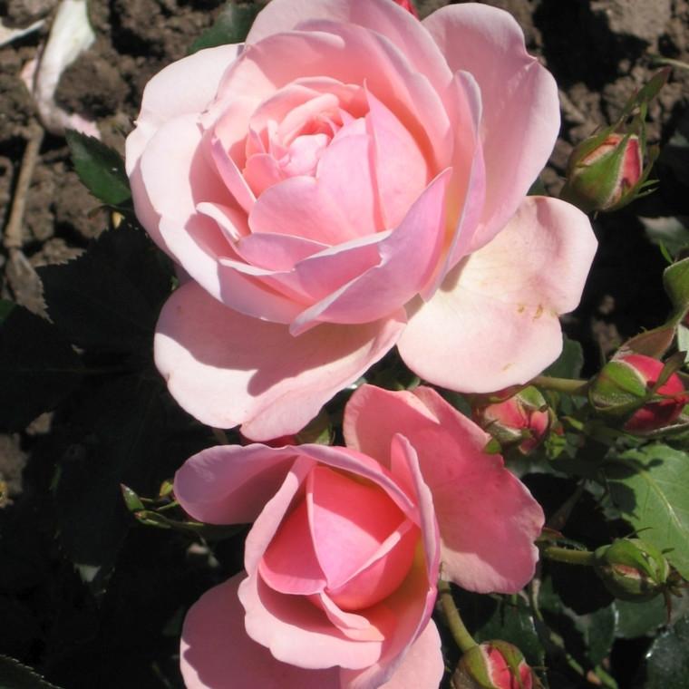 Rose Rosenborg (buketrose) , barrotad