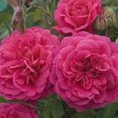 Rose Sir John Betjeman (engelsk rose) , barrotad
