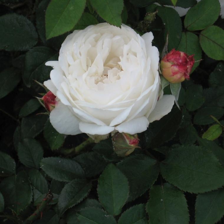 Rose Winchester Cathedral (engelsk rose) , barrotad