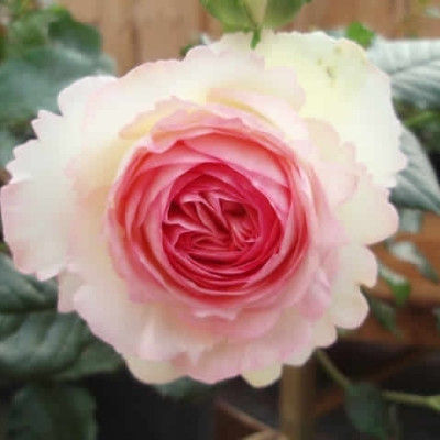 Rose Willestrup (Eden Rose 88) (slyngrose) , barrotad