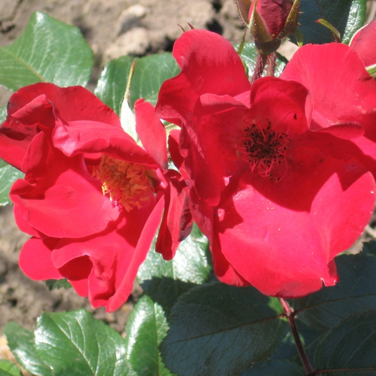Rose Robusta (buskrose)  , barrotad