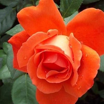 Rose 'Alexander' (storblomstrende) barrodet