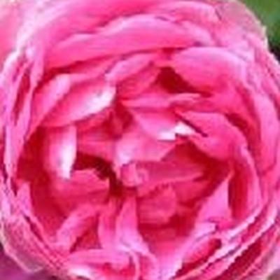 Rose Pink Cloud (slyngrose) , barrodet