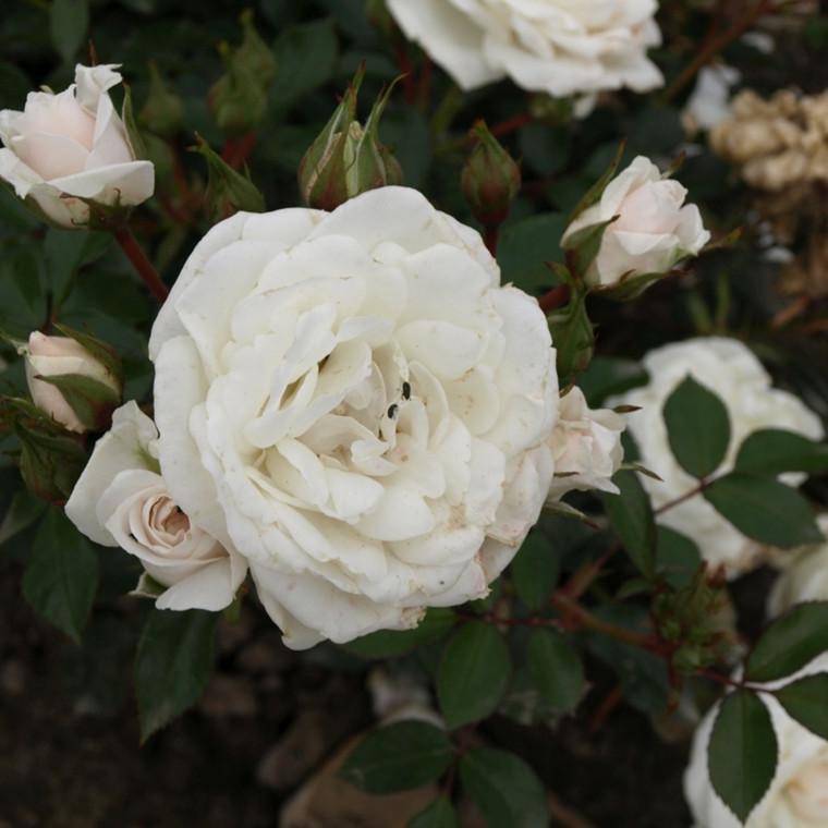 Rose Snow Hit (bunddækkerose) , barrodet