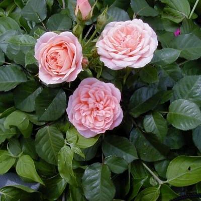 Rose Sweet Dream (bunddækkerose), barrodet