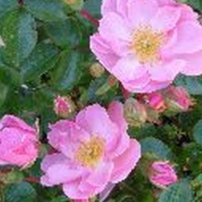 Rose I need you (bunddækkerose)  , barrodet