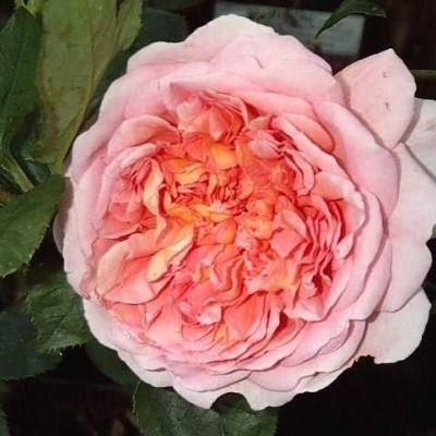 Rose 'Abraham Darby' (engelsk rose ) - kan anvendes som slyngrose) barrodet