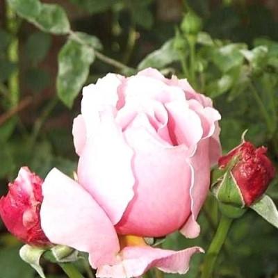 Rose 'Brother Cadfael' (engelsk rose) barrodet