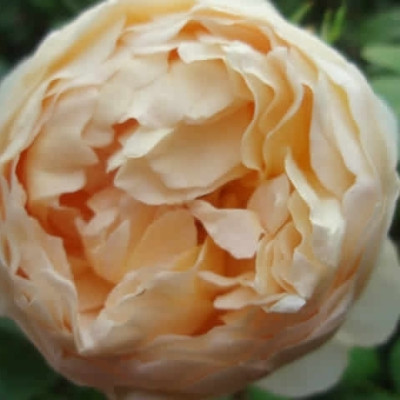 Rose Jude The Obscure (engelsk rose) , barrodet