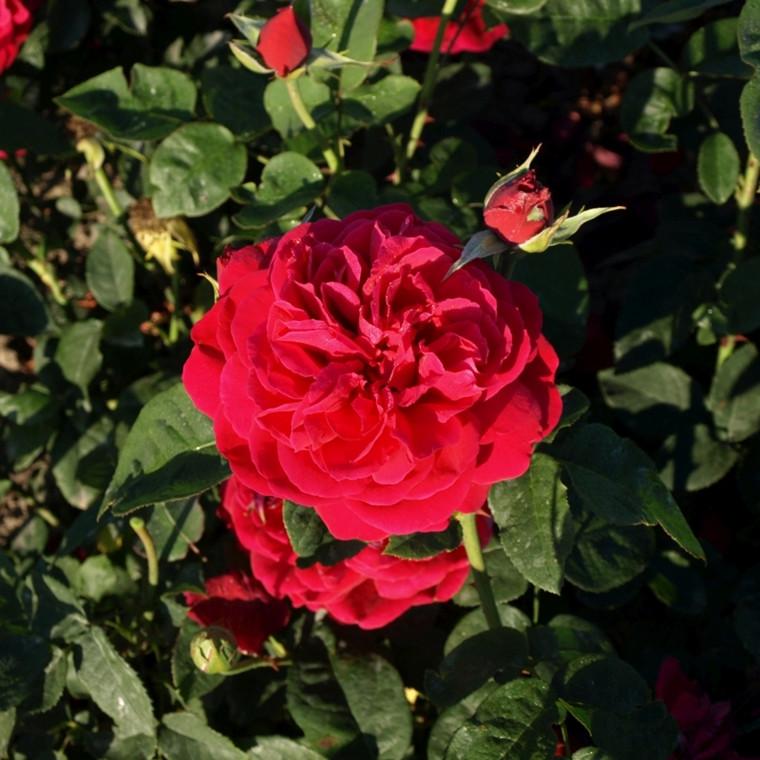 Rose L.D. Braithwaite (engelsk rose) , barrotad