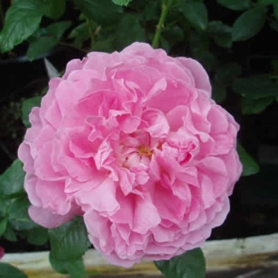 Rose Mary Rose (engelsk rose) , barrotad