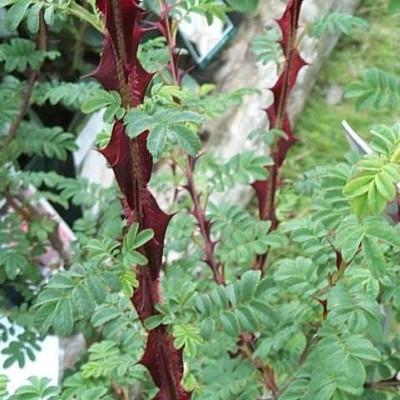 Rose Omeiensis Pterachanta - pigtrådsrose (buskrose)  , barrotad